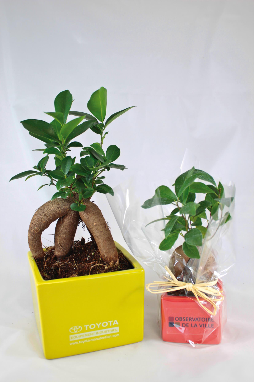 Le Ficus Ginseng ecologique publicitaire ECO121